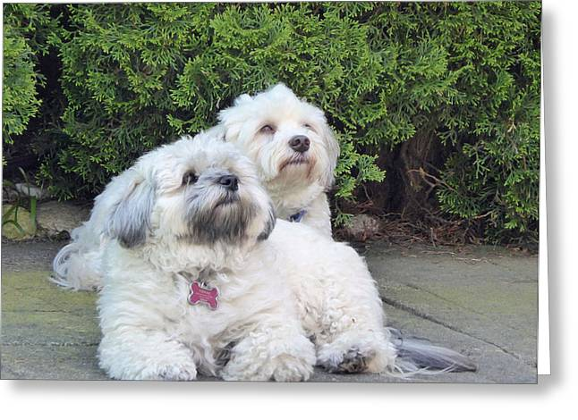 Greeting Card featuring the photograph Havanese Dog Sisters by Laurie Tsemak