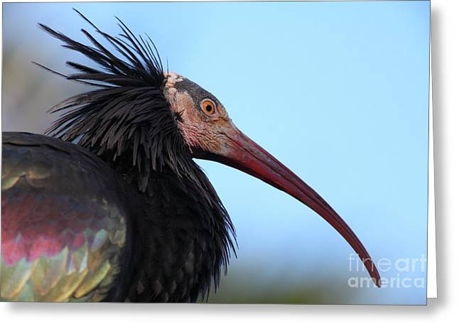 Waldrapp Ibis 5d27031 Greeting Card by Wingsdomain Art and Photography