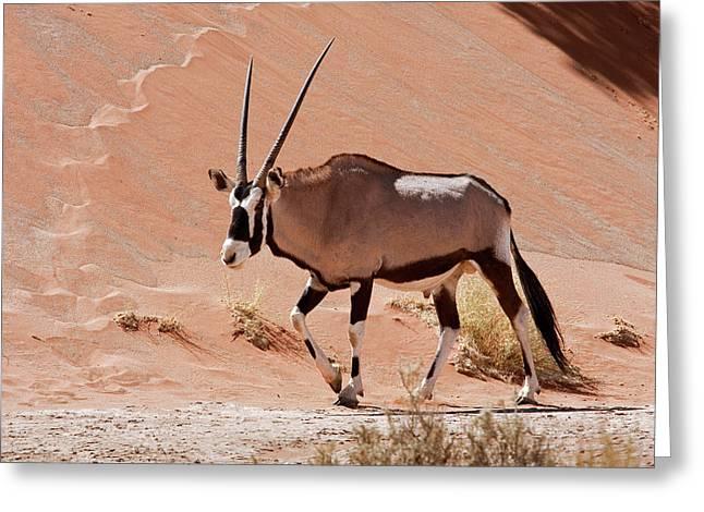 Walking Male Oryx (oryx Gazella Greeting Card by Jaynes Gallery