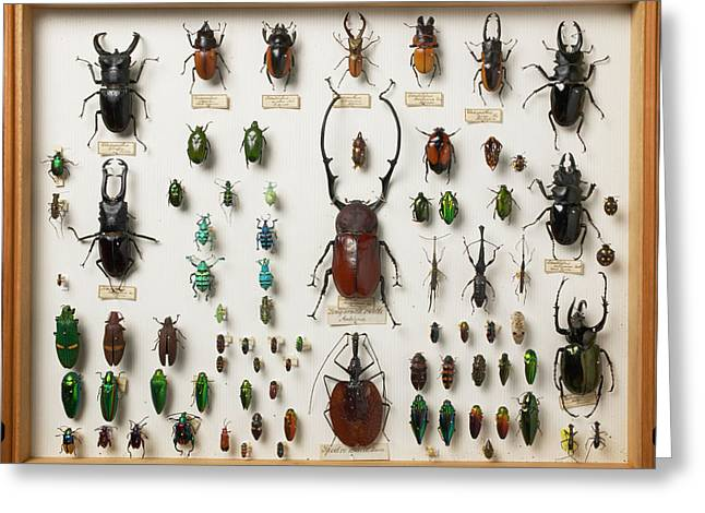 Wallace Collection Beetle Specimens Greeting Card by Natural History Museum, London/science Photo Library