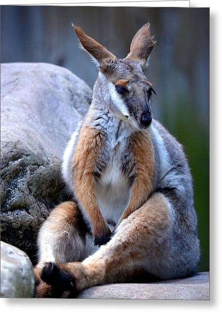 Greeting Card featuring the painting Wallaroo 1 by Amanda Vouglas