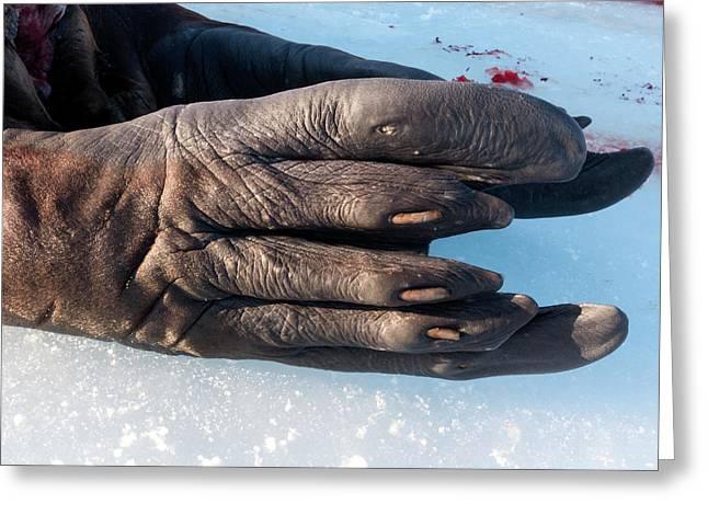 Walrus Rear Flipper Greeting Card by Louise Murray