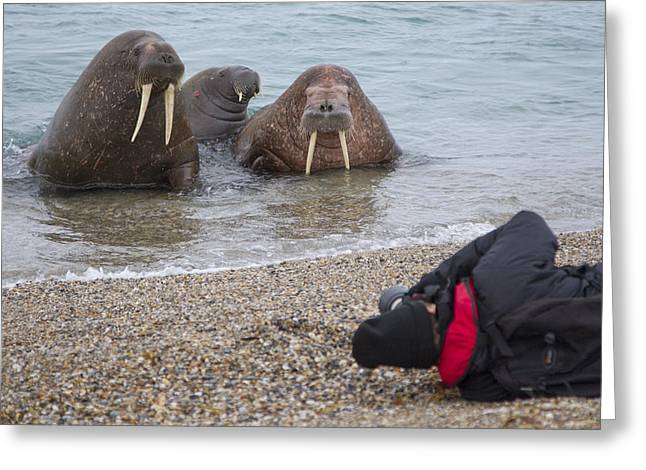 Walruses Photographed By Tourists Greeting Card by Peter Cairns