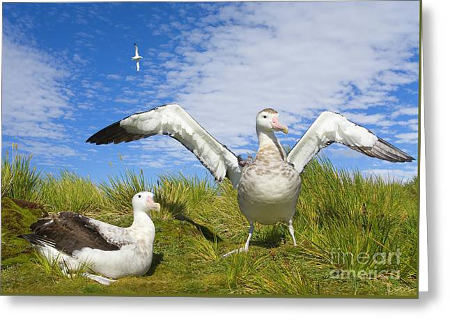 Wandering Albatross Courting  Greeting Card by Yva Momatiuk John Eastcott