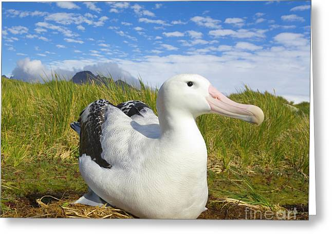 Wandering Albatross Incubating S Georgia Greeting Card by