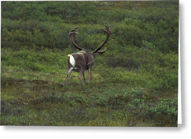 Wandering Caribou Greeting Card