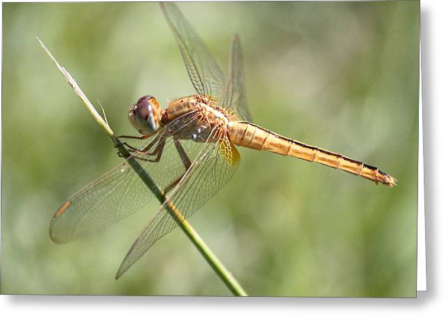 Wandering Glider Square Greeting Card by Carol Groenen