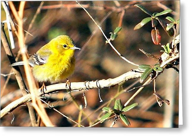 Warbler Greeting Card by Debbie Sikes