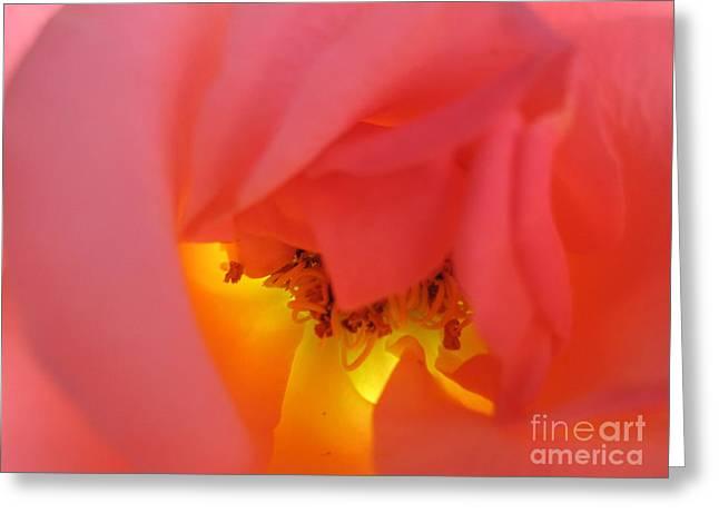 Warm Glow Pink Rose 3 Greeting Card by Tara  Shalton