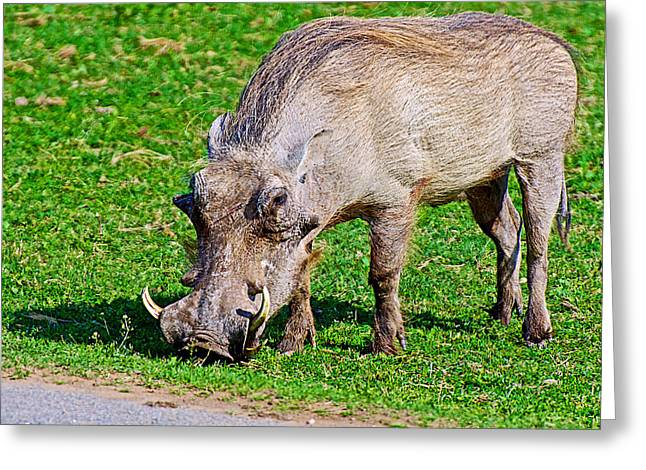 Warthog In Addo Elephant Park Near Port Elizabeth-south Africa  Greeting Card