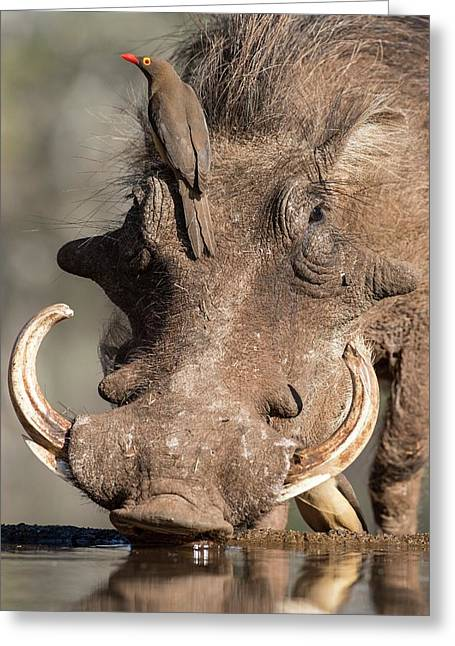 Warthog With Ox-pecker At A Watering Hole Greeting Card