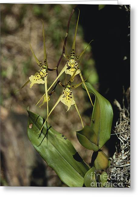 Warty Brassia Orchid Greeting Card