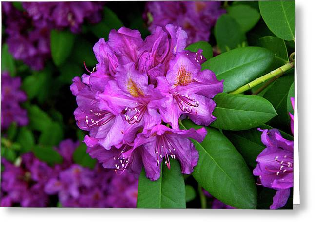 Washington Coastal Rhododendron Greeting Card