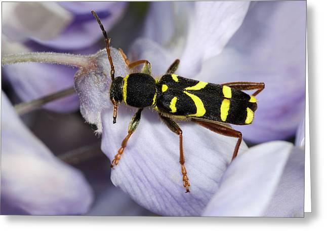 Wasp Beetle Greeting Card