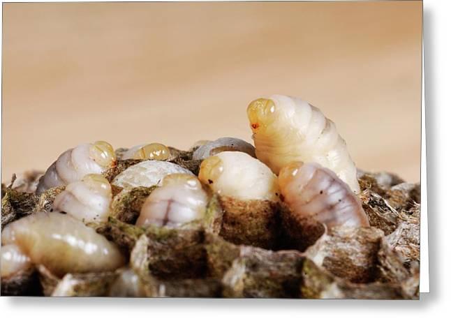 Wasp Larvae Greeting Card by Cordelia Molloy