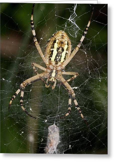Wasp Spider And Prey Greeting Card