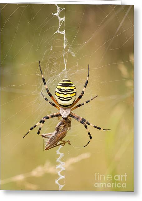 Wasp Spider With Prey Greeting Card by Matthias Lenke