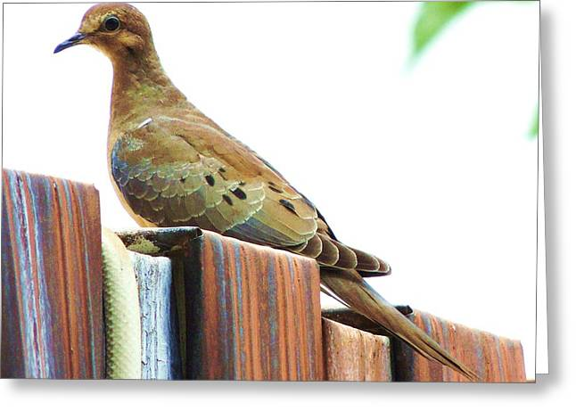 Watchful Dove Greeting Card by Helen Carson