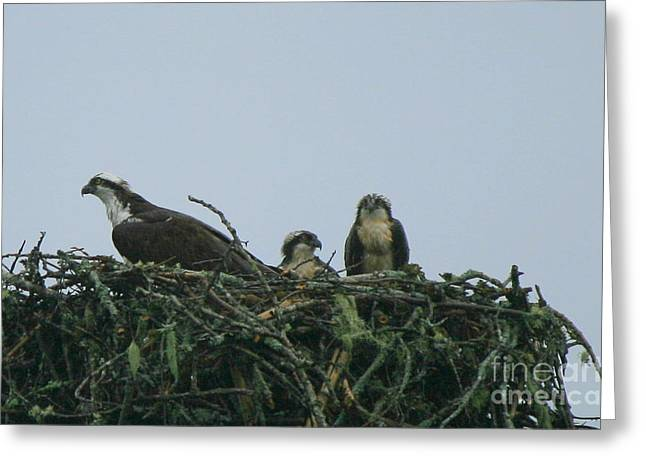 Mother Osprey Watchful Eye  Greeting Card by Neal Eslinger