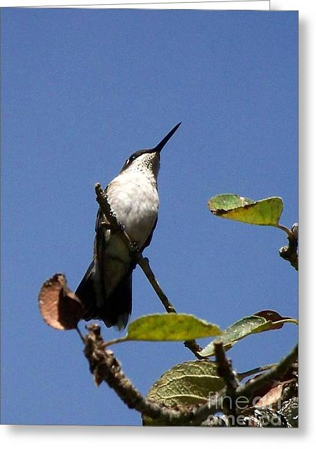 Watchful Female Hummingbird  Greeting Card by Eunice Miller
