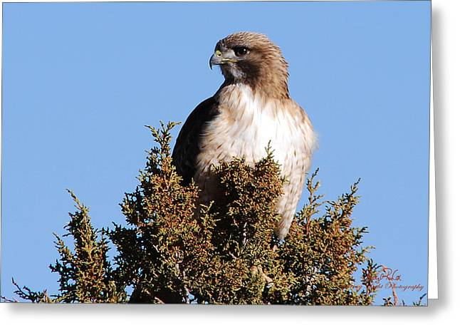 Watchful Hawk Greeting Card by Sheryl Cox