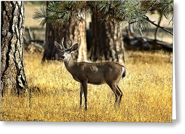 Watchful Young Buck Greeting Card