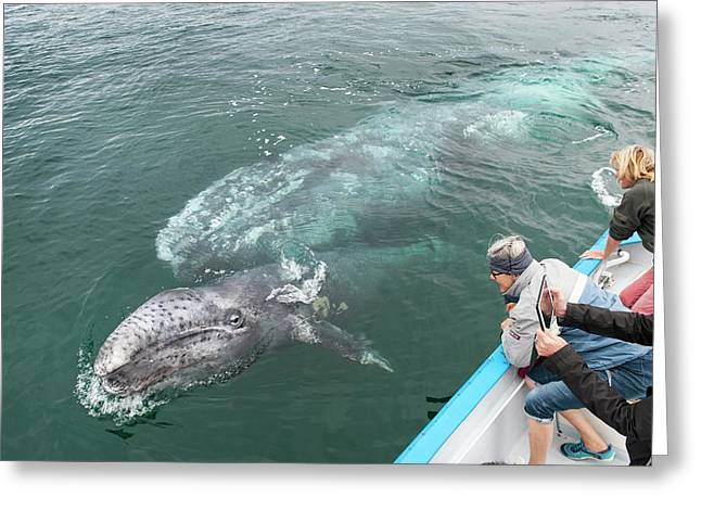 Watching Gray Whales Greeting Card by Christopher Swann