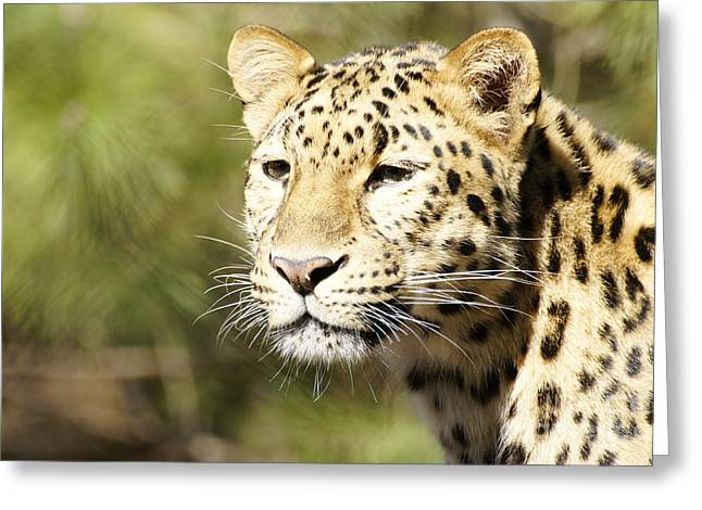 Watching Leopard Greeting Card