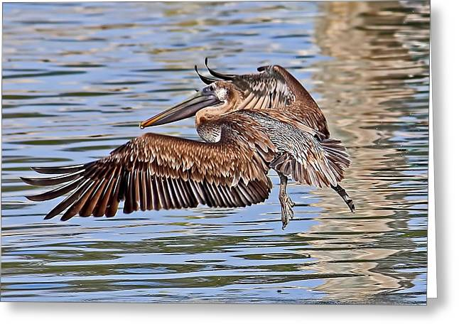Water Ballet - Brown Pelican Greeting Card by HH Photography of Florida