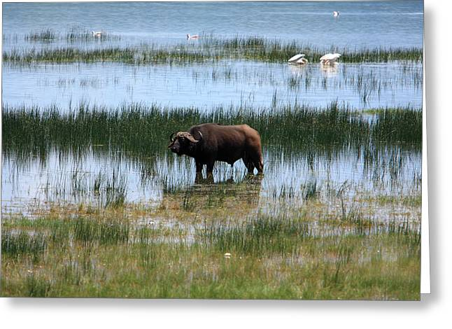 African Heritage Greeting Cards - Water Buffalo at Lake Nakuru Greeting Card by Aidan Moran