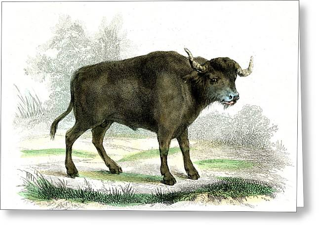 Water Buffalo Greeting Card by Collection Abecasis