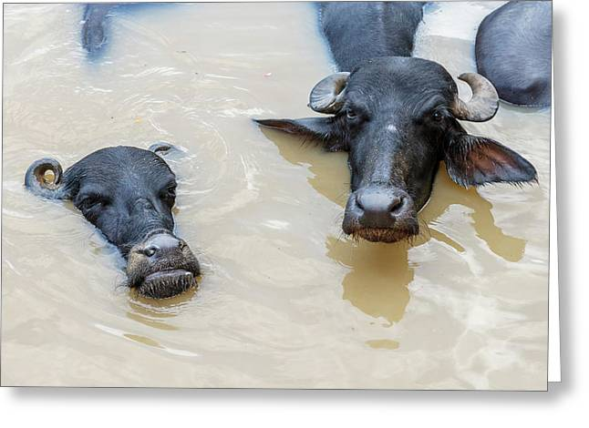 Water Buffalos In Ganges River Greeting Card