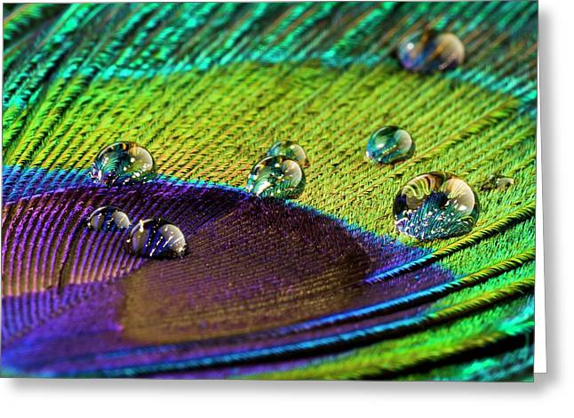 Water Droplets On Peacock Feather Greeting Card by Science Photo Library