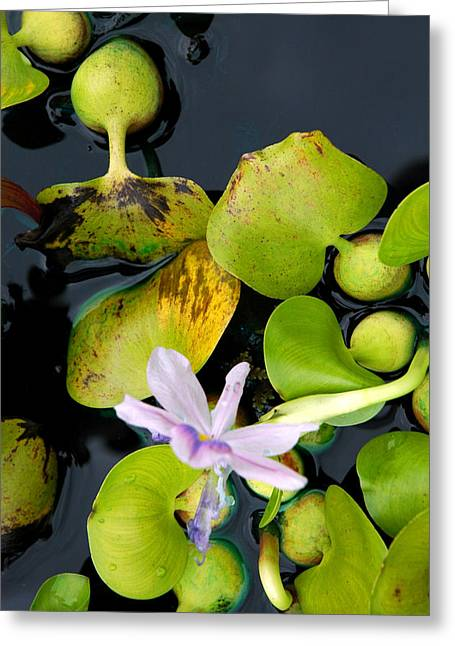 Water Flower Greeting Card