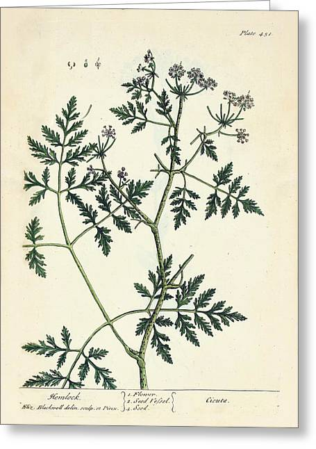 Water Hemlock Plant Greeting Card