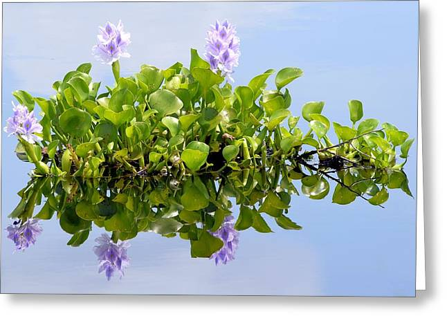 Water Hyacinth 1 Greeting Card by Sheri McLeroy
