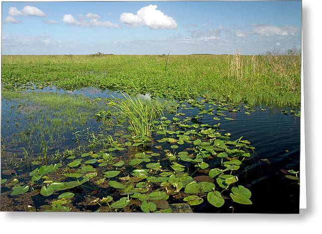 Water Lilies And Sawgrass Greeting Card by David R. Frazier