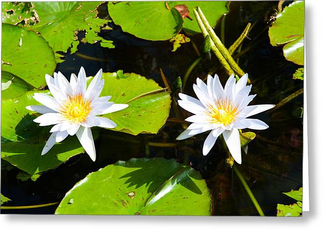 Water Lilies With Lily Pads In A Pond Greeting Card by Panoramic Images