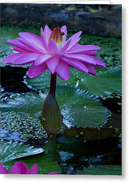 Water Lilly And Bee Greeting Card by Bonita Hensley