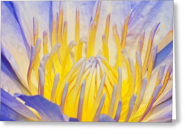 Water Lilly Greeting Card by Robert Culver