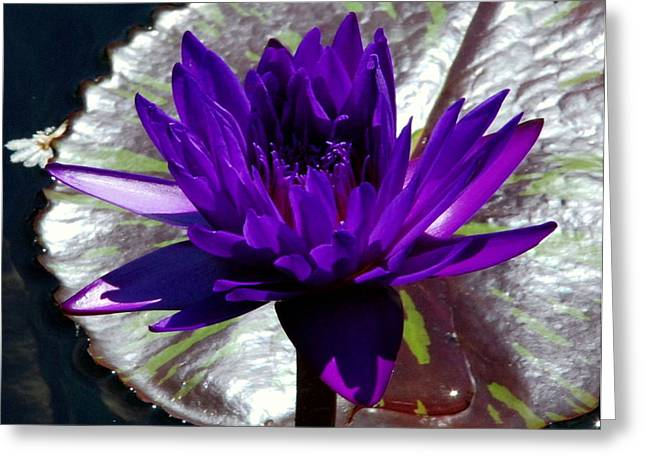 Water Lily 008 Greeting Card