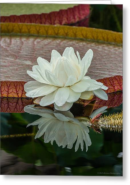 Lily Pond Greeting Card by Phil Abrams