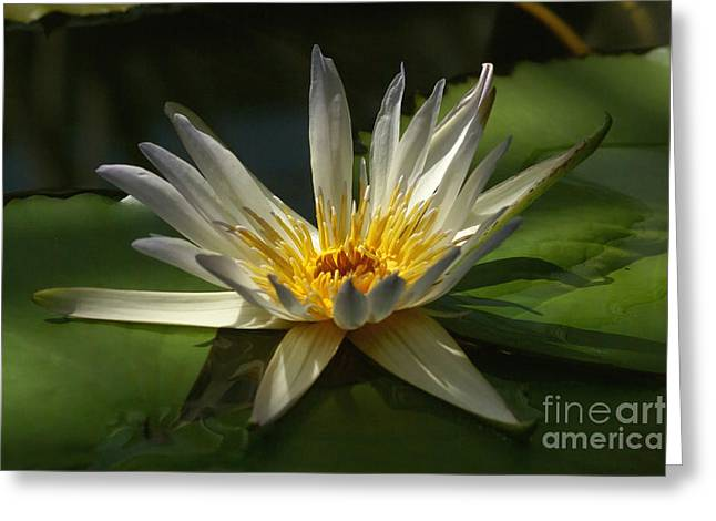 Water Lily 2 Greeting Card by Rudi Prott