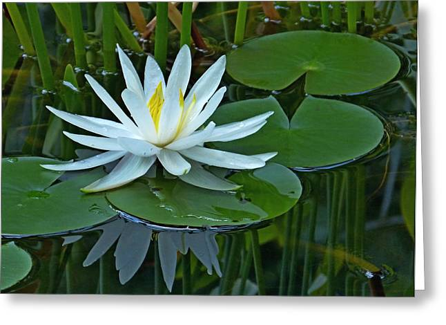 Water Lily And Reflection Greeting Card by Pete Trenholm