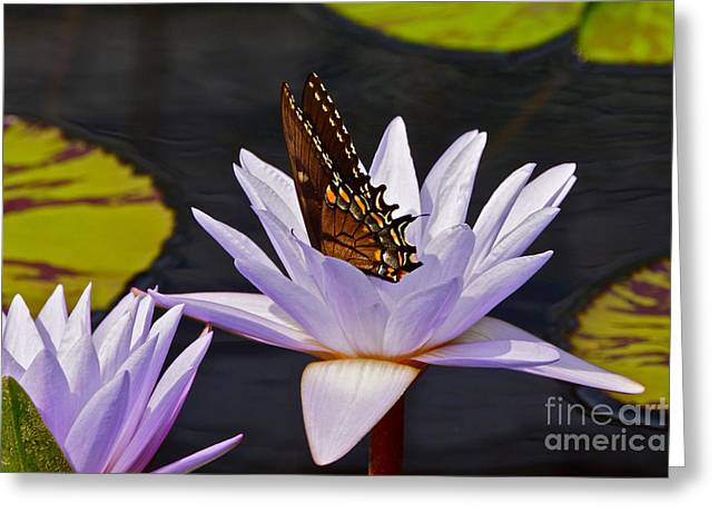 Water Lily And Swallowtail Butterfly Greeting Card
