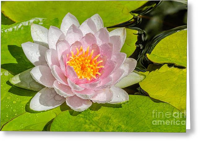 Water Lily Greeting Card by Anthony Heflin
