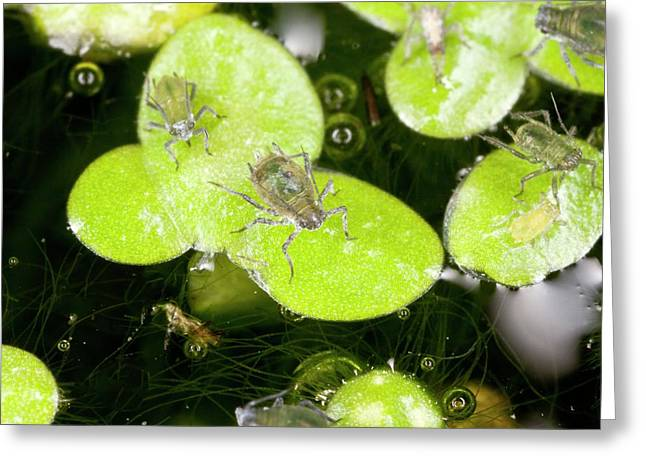 Water-lily Aphids On Duckweed Greeting Card by Bob Gibbons
