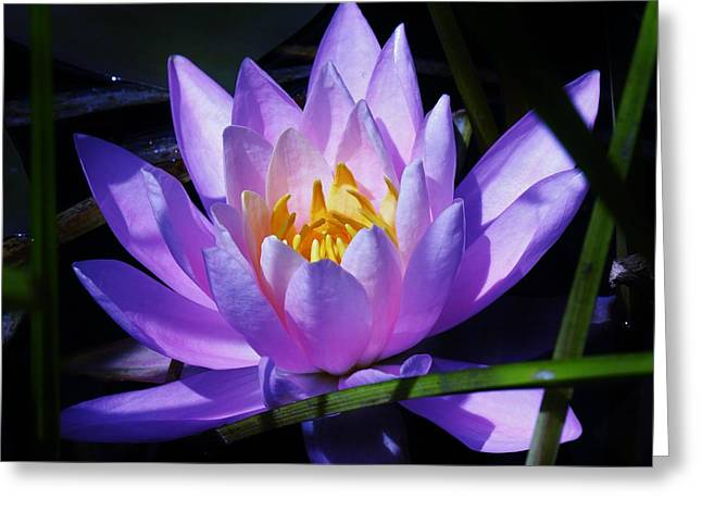 Water Lily Blues Greeting Card by Sherman Perry