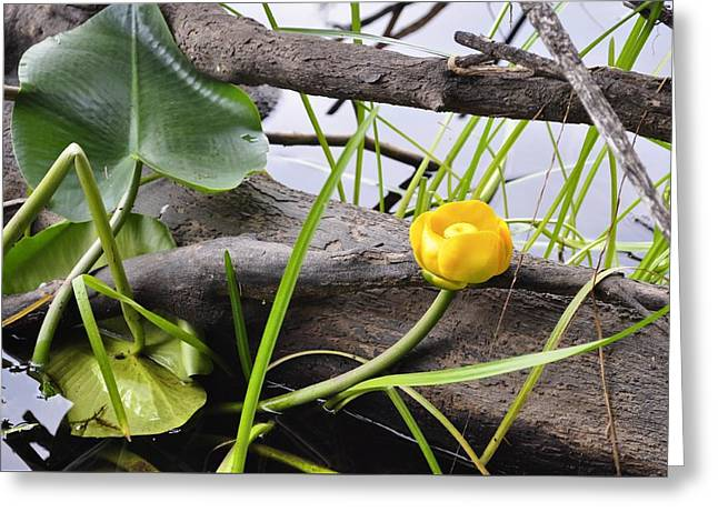 Greeting Card featuring the photograph Water Lily by Cathy Mahnke
