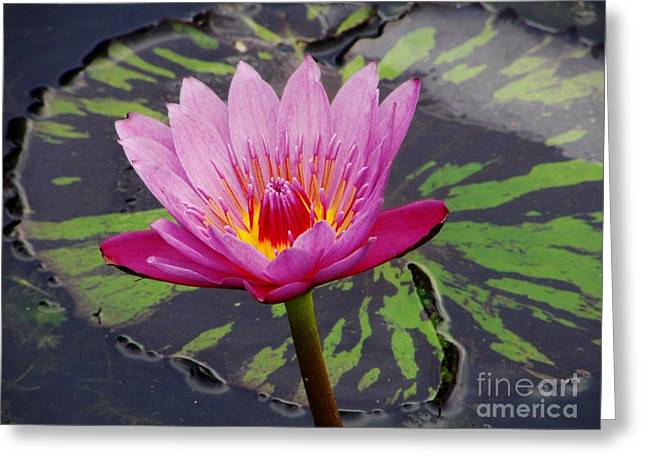 Water Lily Greeting Card by Cynthia Merino